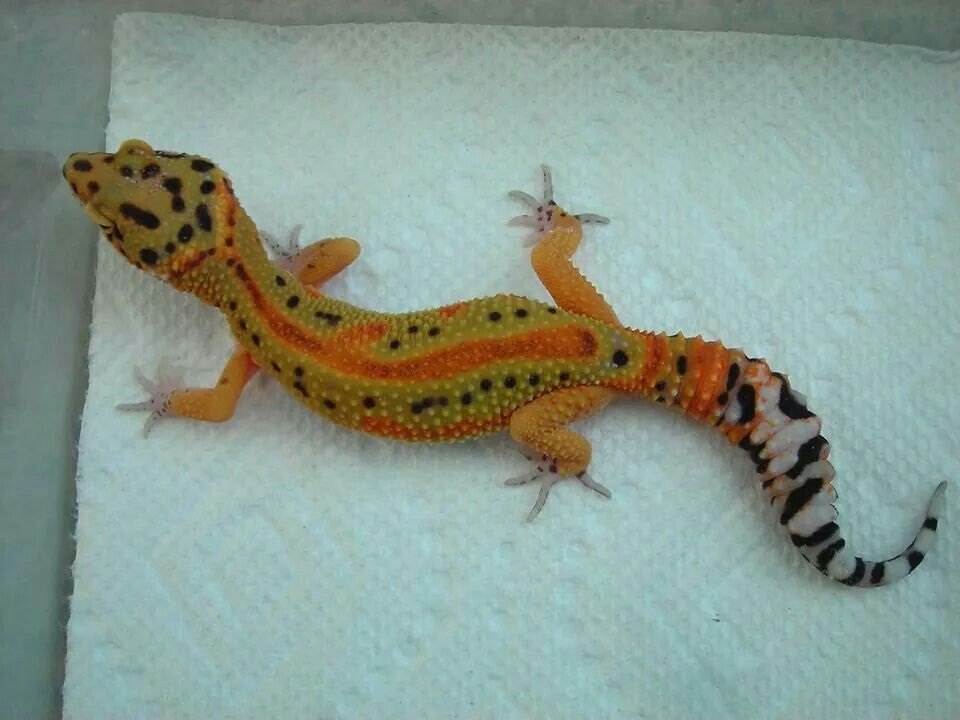 Leopard gecko morphs bring out the palette