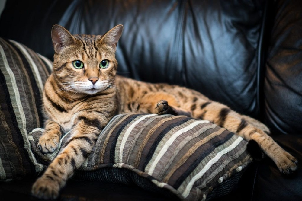 Bring Home Bengal Cat & Get a Lovely Playmate
