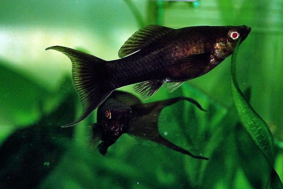 Caring and the Dos & Don't of Fishes – Betta Fish & Molly Fish!