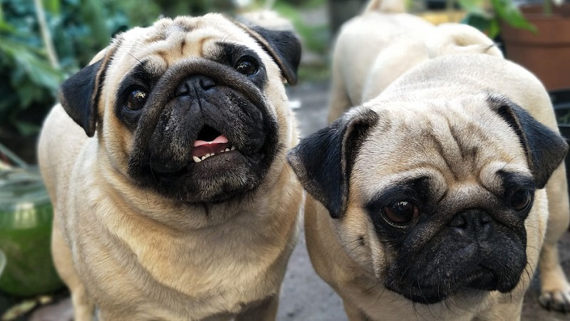 How to Stop Pugs from Barking