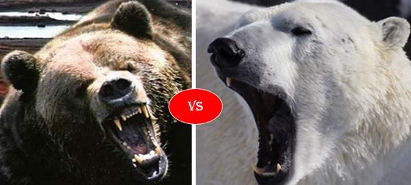 Can a Grizzly bear kill a Polar bear?