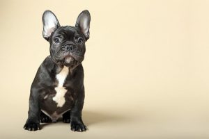 Do you like the French bulldog? Here's The Buying Guide