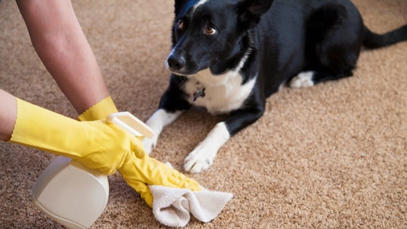 How to Remove Pet Odors, What can I do to get pet odor out of the carpets?