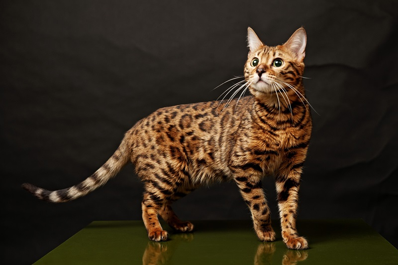 Interesting Facts about Bengal Cats