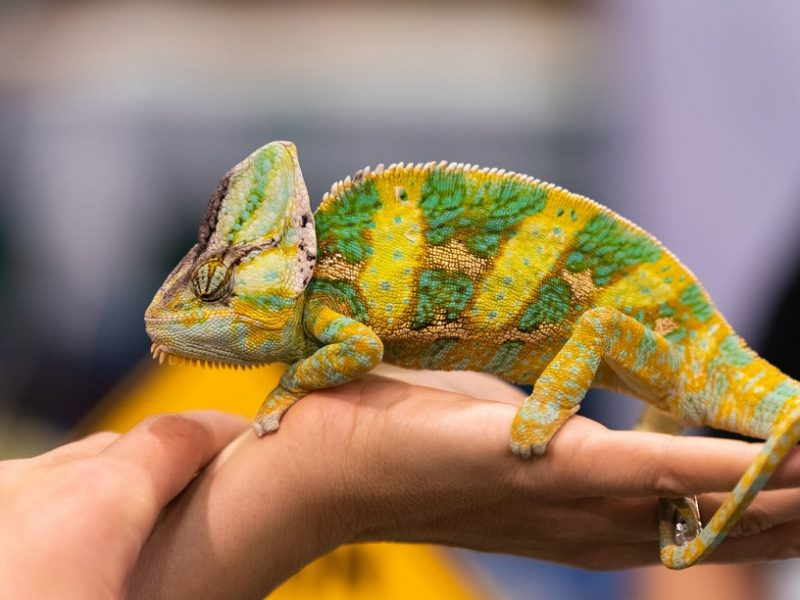 Why Calcium Is So Important For Your Reptile Pet?