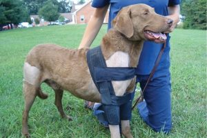How Does Dog Orthopaedic Bracing Work?
