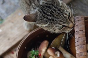 Is it Safe for Cats to Have Mushrooms for Food?