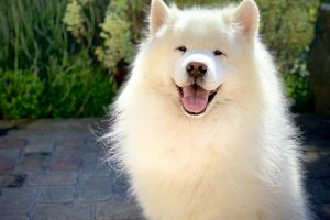 What You Need to Know Before Getting a Samoyed