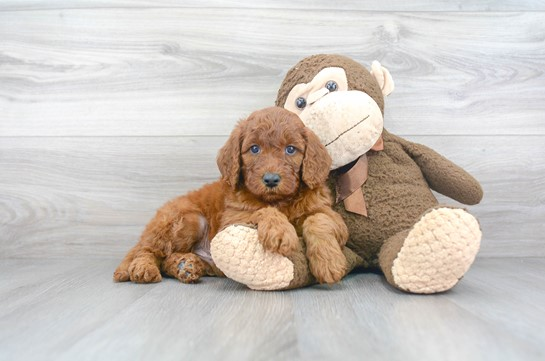 All You Need to Know About Mini Goldendoodle: Origin, Training Tips and Facts