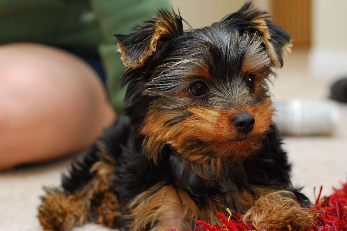 How to Train Your Yorkie Puppy at Home?