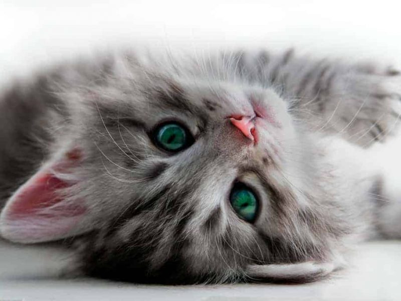 Adopting A Kitten – Things you need to Know