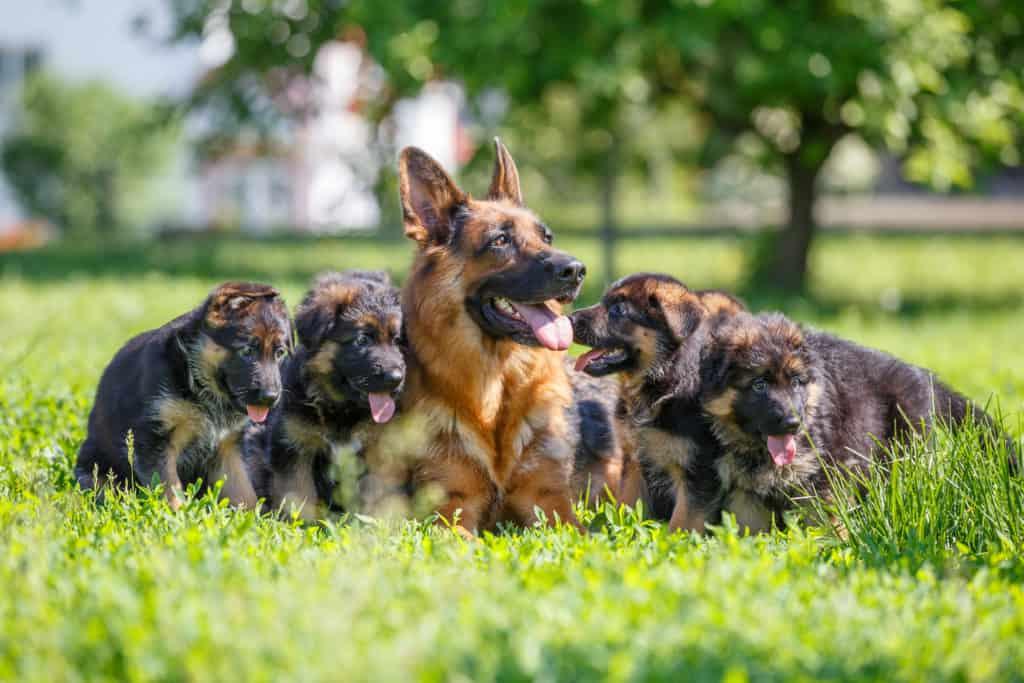 Reasons to Choose Trained German Shepherd Puppies