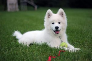 Bring A Samoyed Breed Dog To Your Home